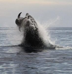 kosatka-i-delfin
